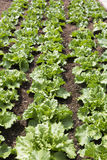 Young salad plants (lactuca sativa) Stock Images