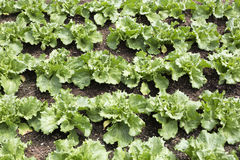 Young salad plants (lactuca sativa) Royalty Free Stock Images