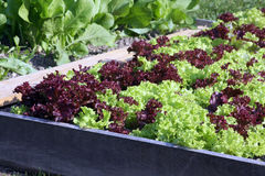 Young salad on the raised garden bed. Fresh salad garden on the raised garden bed Stock Photo