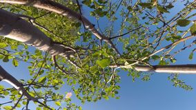 Young Salix caprea, willow tree. Swaying gently in summer breeze stock video footage