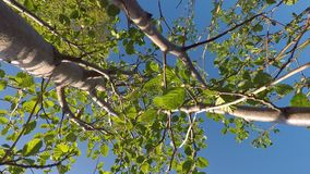 Young Salix caprea, willow tree. Swaying gently in summer breeze stock video