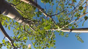 Young Salix caprea, willow tree. Swaying gently in summer breeze stock footage