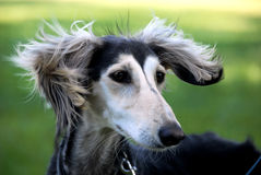 Young saluki. A young saluki female - salukis are a sighthound breed, like greyhounds Stock Photography