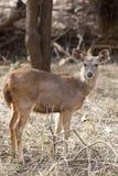 Young sambar deer. Stock Image