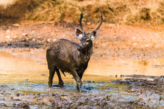 Young Sambar Deer at golden light Royalty Free Stock Photo
