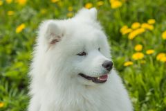 Young Samoyed dog outdoors with a green background Stock Images