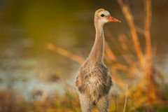 Young Sandhill Crane Stock Image