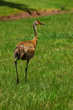 Young Sandhill Crane. A young sandhill crane walks away from the photographer Grus canadensis royalty free stock photography