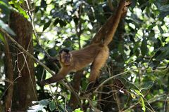 Young sapajus monkey holding on twigs. royalty free stock photo
