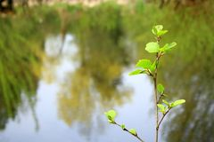 Young sapling against the lake Royalty Free Stock Images