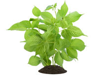 Young sapling of a blackberry Stock Image