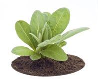 Young sapling, sprout a garden cornflower Stock Photos
