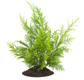 Young sapling, sprout a thuja Stock Photos