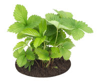 Young sapling of wild strawberry Stock Photo