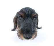 Young Sausage dog Stock Photography