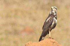 A young Savanna Hawk (Heterospizias meridionalis) resting on ter Royalty Free Stock Photography