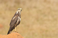 A young Savanna Hawk (Heterospizias meridionalis) resting on ter Stock Photography
