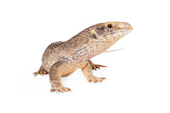 Young Savannah Monitor Lizard. Savannah monitor lizard looking to the side on a white studio background Royalty Free Stock Photography