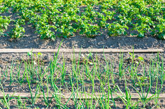 Young scallions and potato plants on a vegetable garden patch Royalty Free Stock Photos