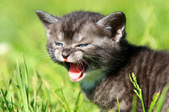 Young scared kitten. Little kitten screaming miaow scared Stock Photography