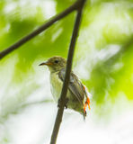 Young Scarlet-backed Flowerpecker. (Dicaeum cruentatum) in nature Royalty Free Stock Photos