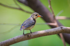 Young  Scarlet-backed Flowerpecker(Dicaeum cruentatum) Stock Images