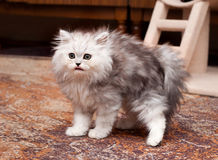 Young scary kitten Royalty Free Stock Photo