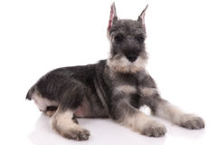 Young schnauzer Royalty Free Stock Photos