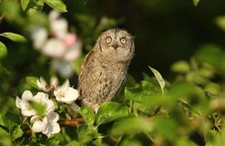 Young scops owl Royalty Free Stock Photo