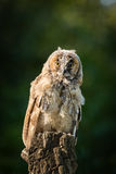 Young Scops owl sitting on an old tree stump in the sunlight Stock Photography