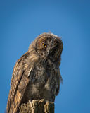 Young Scops owl sitting on an old tree stump in the sunlight Royalty Free Stock Images