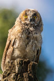 Young Scops owl sitting on an old tree stump in the sunlight Royalty Free Stock Photo