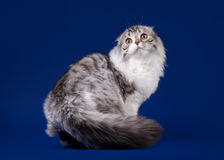 Young scotish highland fold. Kitten on dark blue background Royalty Free Stock Images