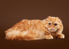 Young scotish highland fold kitten. On dark brown background Stock Photography