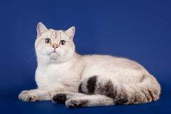 Young scotish straight kitten. On dark blue background Royalty Free Stock Images