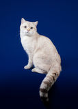 Young scotish straight kitten. On dark blue background Royalty Free Stock Photo