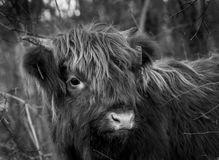 Young Scottisch highlander in B&W. Young Scottish highlander looking around. The photo is black and white Stock Image