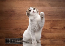 Young scottish fold kitten on mirror and wooden texture Stock Images