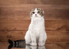 Young scottish fold kitten on mirror and wooden texture Royalty Free Stock Photography