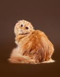 Young scottish highland fold kitten. On dark brown background Royalty Free Stock Photo