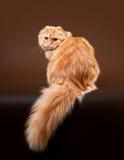 Young scottish highland fold kitten Royalty Free Stock Photos