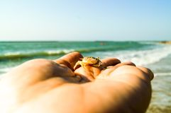 Young sea crab on hand look small and hiding in hand. Young sea crab on hand look small and  harmony with the color of the hands. If look through, I can not see Stock Images