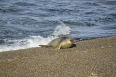 Young Sea Elephant on coast. Young sea elephant in the grave beach in patagonia Stock Images