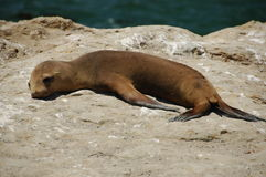 Young sea lion Stock Photos