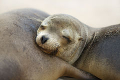 Young Sea Lion Royalty Free Stock Image