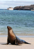 Young Sea Lion Stock Images