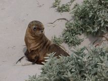 A young sea lion Stock Images