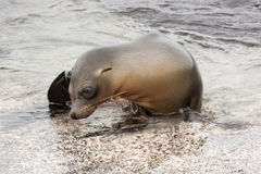 Young sea lion climbing out of the water. Royalty Free Stock Photography