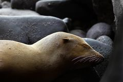 Young Sea Lion Sleeping Camouflaged as a Rock His Ear and Whiske Royalty Free Stock Images