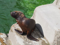 Young Sea Lion. The little young sea lion by the water Stock Image